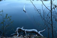 Animaux lunatiques de rondin dans le lac photos stock
