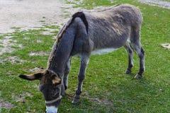 Animaux modestes et très têtus d'âne - Photo libre de droits