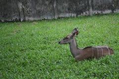 Animaux plus grand Kudu d'une sauterelle photos stock