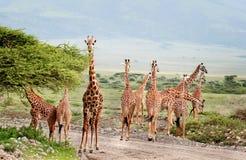 Animaux sauvages de l'Afrique, troupeau de girafes traversant la route Image stock
