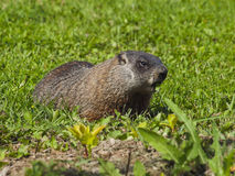 Animaux sauvages. Marmotte. Image stock