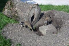 Animaux - suricate deux drôle dans un zoo Photo stock