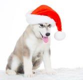 animaux Un blanc enroué de chiot, chapeau de Noël ! Photos stock