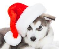 animaux Un blanc enroué de chiot d'isolement, chapeau de Noël ! Images stock