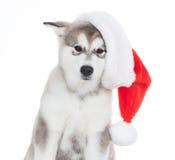 animaux Un blanc enroué de chiot d'isolement, chapeau de Noël ! Photos stock
