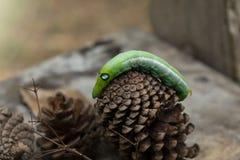 Animaux verts de chenille de ver sur le fond de tache floue de cône en bois et de pin photo libre de droits