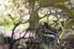 Aninhamento dos colibris do bebê Fotografia de Stock Royalty Free