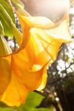Anioł trąbki - Brugmansia suaveolens fotografia royalty free