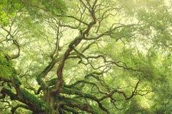 Anioła Dębowy drzewo w Południowa Karolina, usa Zdjęcie Royalty Free