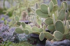 Anioła Skrzydłowy kaktus Zdjęcie Stock