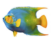 Anioł ryba  Zdjęcia Royalty Free