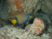 Anioł ryba Fotografia Royalty Free