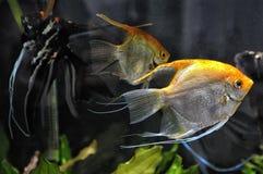 Anioł ryba w domowym akwarium Zdjęcia Royalty Free