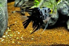 Anioł ryba w domowym akwarium Zdjęcie Stock