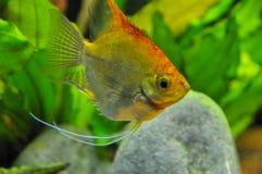 Anioł ryba w domowym akwarium Obraz Stock