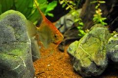 Anioł ryba w domowym akwarium Obrazy Stock