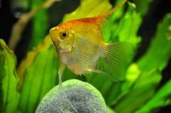 Anioł ryba w domowym akwarium Obraz Royalty Free