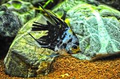 Anioł ryba w domowym akwarium Fotografia Stock
