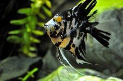 Anioł ryba w domowym akwarium Obrazy Royalty Free