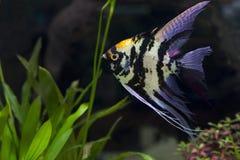 Anioł ryba w zielonym akwarium Fotografia Royalty Free