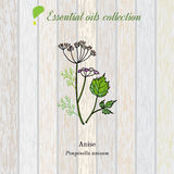 Anise, essential oil label, aromatic plant. Stock Photo