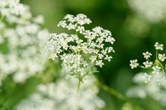 Free Anise Flower Field. Food And Drinks Ingredient. Fresh Medicinal Plant. Seasonal Background. Stock Images - 133372024