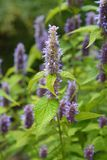 Anise hyssop Golden Jubilee royalty free stock photo