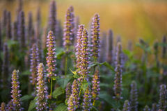 Anise Hyssop. Image of giant Anise hyssop (Agastache foeniculum) in a summer garden stock photography