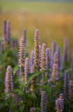 Anise Hyssop royalty free stock image