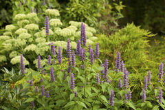 Anise hyssop. Image of giant Anise hyssop (Agastache foeniculum) in a summer garden stock images