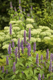 Anise hyssop. Image of giant Anise hyssop (Agastache foeniculum) in a summer garden royalty free stock image