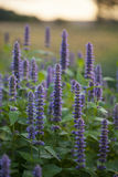 Anise hyssop. Image of giant Anise hyssop (Agastache foeniculum) in a summer garden stock photo