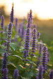 Anise hyssop. Image of giant Anise hyssop (Agastache foeniculum) in a summer garden royalty free stock photography
