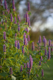 Anise hyssop. Image of giant Anise hyssop (Agastache foeniculum) in a summer garden stock photos
