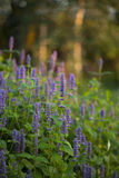 Anise hyssop. Image of giant Anise hyssop (Agastache foeniculum) in a summer garden royalty free stock photo