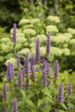 Anise hyssop. Image of giant Anise hyssop (Agastache foeniculum) in a summer garden royalty free stock photos