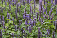 Anise hyssop. Image of giant Anise hyssop (Agastache foeniculum) in a summer garden royalty free stock images