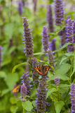Anise hyssop. Image of giant Anise hyssop Agastache foeniculumand Small Tortoiseshell in a summer garden stock photos