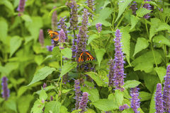 Anise hyssop. Image of giant Anise hyssop Agastache foeniculumand Small Tortoiseshell in a summer garden royalty free stock photos