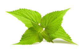 Anise hyssop Stock Photography
