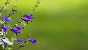 Anise Sage Black & Blauwe Salvia Stock Fotografie