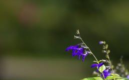 Anise Sage Black & Blauwe Salvia Royalty-vrije Stock Afbeelding