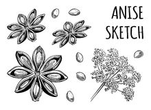 Anise sketch. Star anise. VECTOR illustration. Black isolated on white Stock Photo