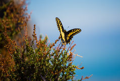 Anise Swallowtail Royalty Free Stock Image