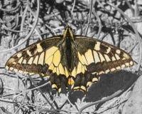 Anise Swallowtail Butterfly fotografia de stock