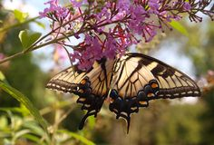 Anise Swallowtail Royalty Free Stock Photo