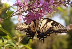 Anise Swallowtail Royalty Free Stock Photo