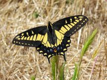 Anise Swallowtail Butterfly on Dry Grass in Summer, Victoria, B.C. Royalty Free Stock Image