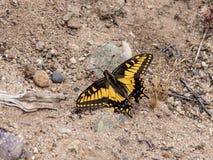 Anise Swallowtail Butterfly på den Laguna kustvildmarken parkerar, Laguna Beach, Kalifornien arkivbilder