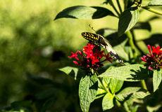 Anise swallowtail butterfly, Papilio zelicaon Stock Photo